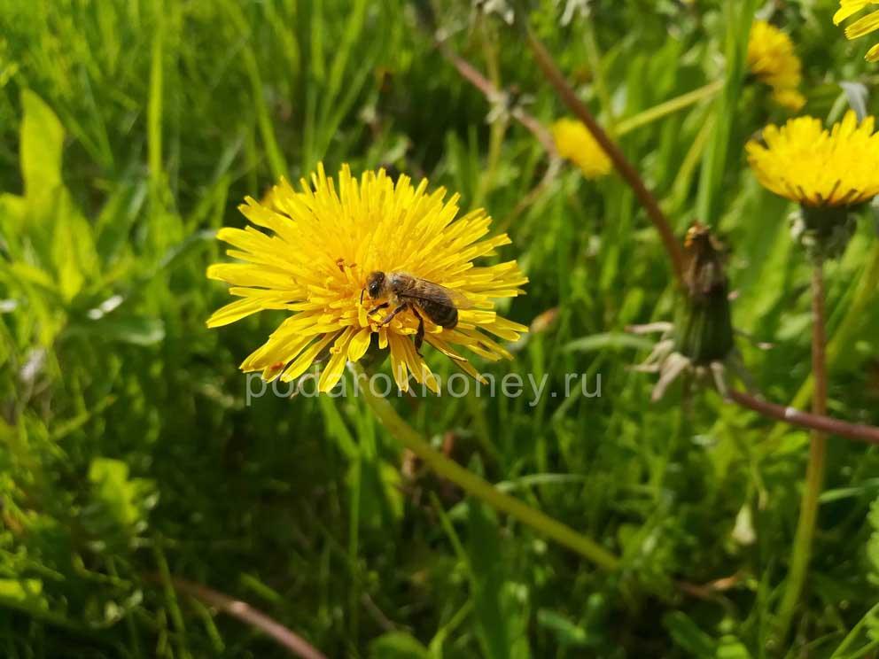как пчела собирает пыльцу